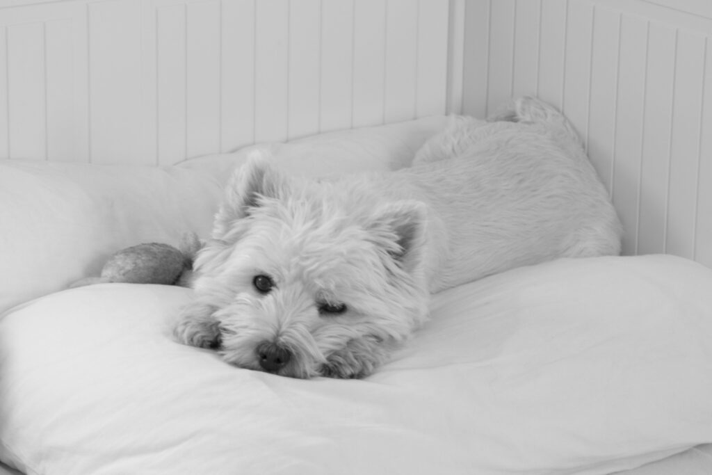 Photograph of the lost pet I write letters to: a white West Highland Terrier lays on a pillow with his head between her paws while looking directly into the camera. It's a black and white photograph.